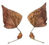 L1b Black Poplar Spiral Leaf Gall
